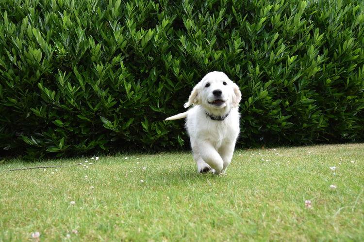 Dogs Golden Golden Retriever Puppy Love Dog Golden Puppy Labrador Retriever No People One Animal Pets Puppies Of Eyeem Puppy EyEmNewHere