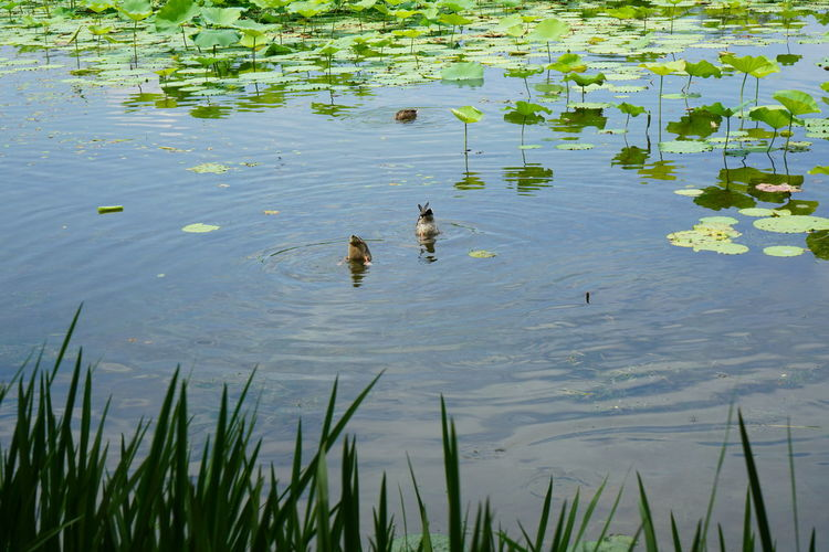 Two ducks into
