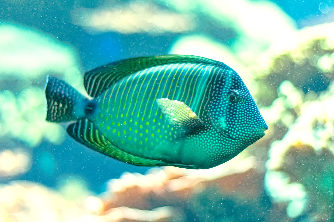 swimming, underwater, animal themes, one animal, sea life, fish, animals in the wild, water, close-up, undersea, nature, aquarium, no people, animal wildlife, day, outdoors