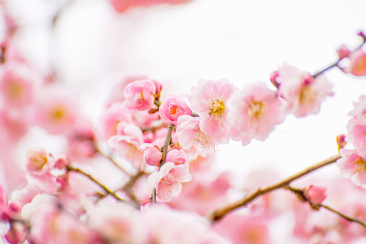 Cherry Blossoms Pink Flower Collection EyeEm Nature Lover Taking Pictures Getting Inspired Nature Bokhe Photography Pale Pink Flowers Golden Hour Capture The Moment Springtime Spring Flowers Japan Photography Pink Color Plant Blossom Tree No People Beauty In Nature Cherry Tree
