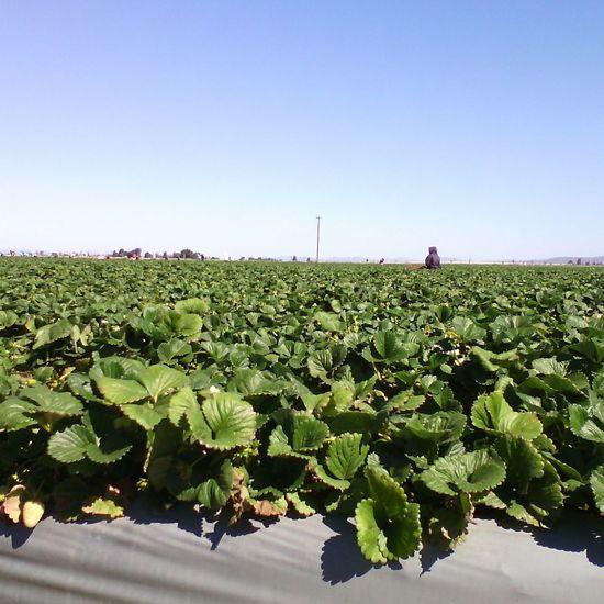Looking Into The Future Campo de fresas en Vizcaino.