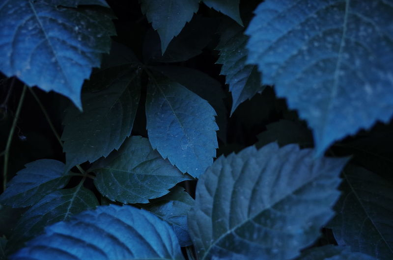 Full Frame Shot Of Hydrangea Leaves