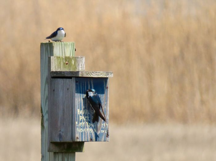 Two tree swallows at the nesting box wooden structure birdwatching beauty in nature outdoors focus on the foreground Bird Perching Birdhouse Wood - Material No People