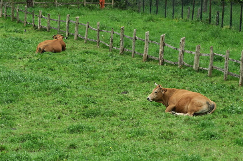 Attitude Bull Cows Cows In A Field Field Grass Relaxing Spanish Cows EyeEmNewHere EyeEm Nature Lover