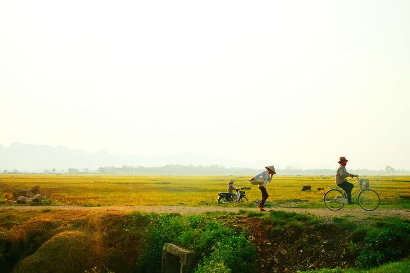 Chiều về ~ On the way home ~ うちへ帰ろう Northern Vietnam Vietnam Landscape Rice Paddy Rice Field Yellow Countryside On The Way Home Afternoon 田舎 ベトナム 静かな環境