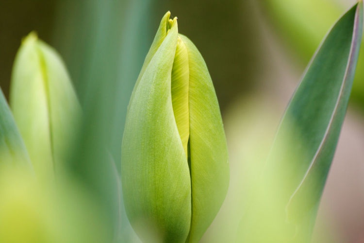 Leaf Plant Part Green Color Plant Close-up Growth Beauty In Nature No People Selective Focus Freshness Day Outdoors Beginnings Botany Soft Focus Vulnerability  Fragility Springtime Tulip Bud Spring Flowers Nature