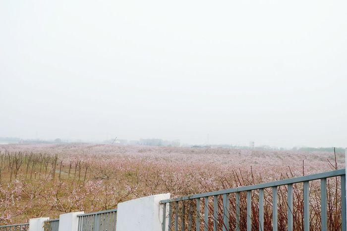 桃花 Nature Sky Fence Copy Space Barrier Boundary No People Environment Outdoors
