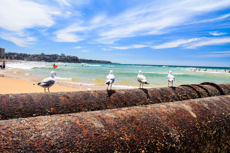 Manly beach in Sydney Sydney Sydney, Australia Manly  Manly Beach Water Sea Bird Animals In The Wild Sky Vertebrate Animal Themes Beach Animal Cloud - Sky Land Animal Wildlife Nature Group Of Animals Day No People Seagull Beauty In Nature Scenics - Nature Horizon Over Water Outdoors