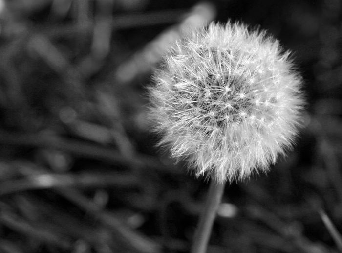 EyeEmNewHere Beauty In Nature Close-up Dandelion Day Flower Flower Head Focus On Foreground Fragility Freshness Growth Nature No People Outdoors Plant Softness Springtime Uncultivated Bwoftheday Bnw_captures Black And White Photography Bnw_of_our_world Art Kunst Landscape
