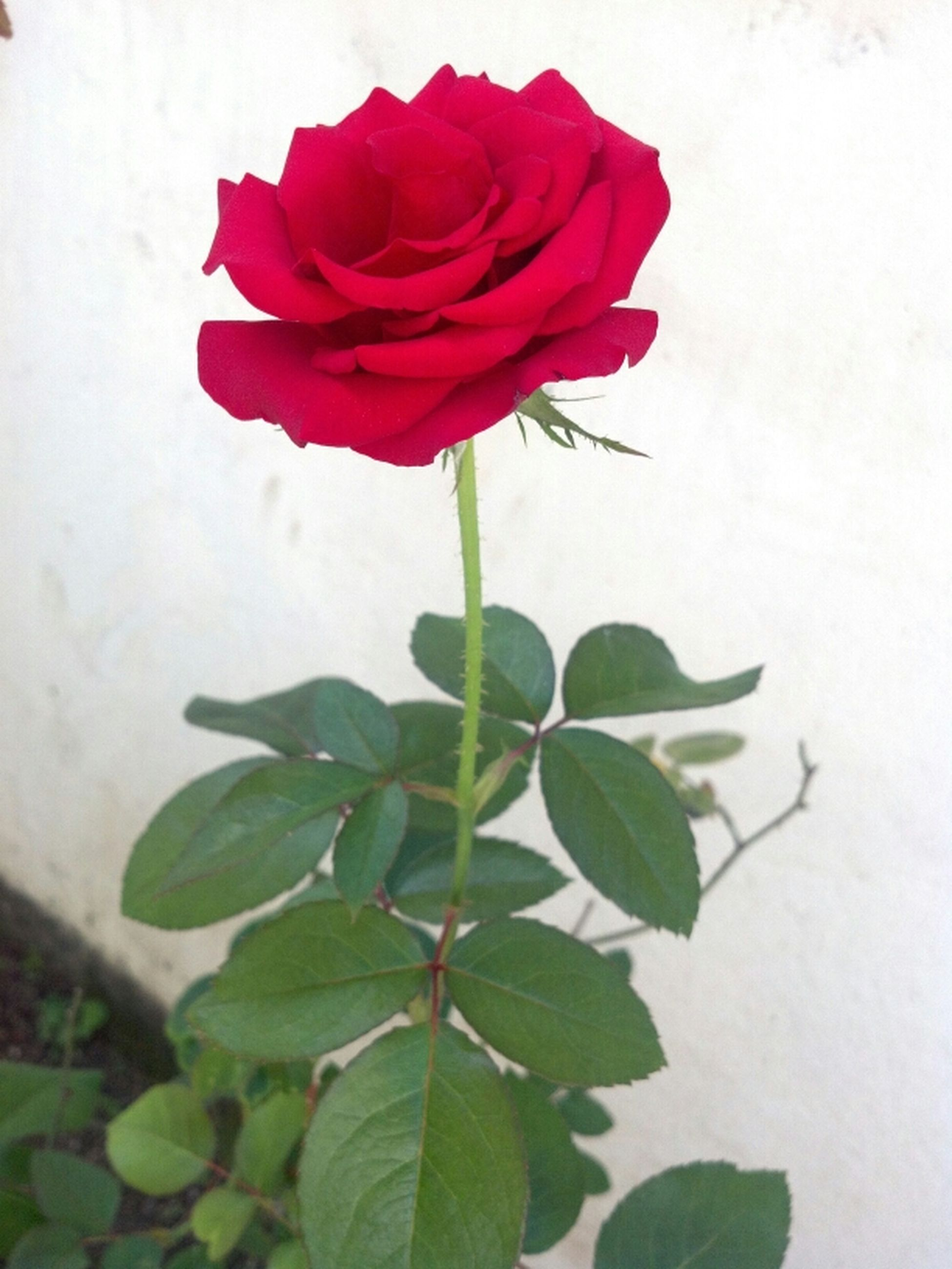 flower, petal, fragility, freshness, flower head, red, leaf, rose - flower, growth, beauty in nature, single flower, plant, nature, stem, close-up, rose, blooming, wall - building feature, in bloom, blossom
