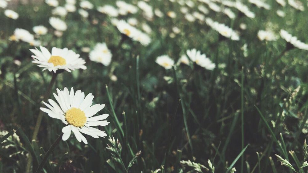 Daisies Flowers Nature Nature_collection Nature Photography Spring Nature's Diversities