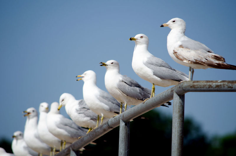 a row of seagulls perch on a metal railing off the shores of lake Michigan Gulls Row Of Birds Animal Themes Animal Wildlife Animals In The Wild Bird Clear Sky Close-up Day Low Angle View Nature No People Outdoors Perching Seagull Sky