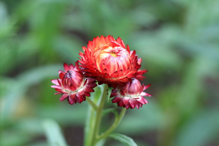 Close-up of red pink flower