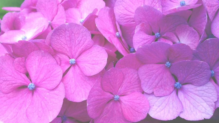 Flowers Wakana's Photo 紫陽花 Beautiful Nature