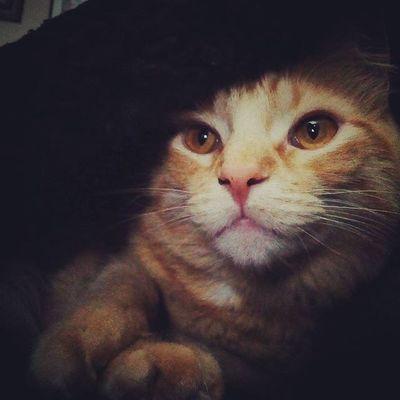 Mrlito Livesforblanketforts Gingercat