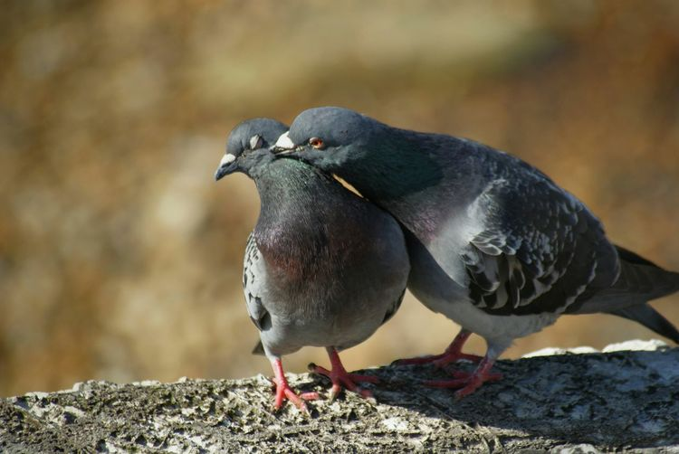 Pigeons In Love Outdoors