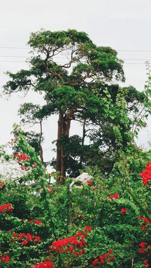 Tree Growth No