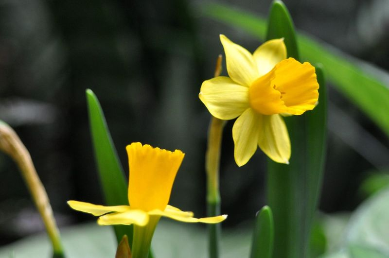 Close-up of yellow daffodil flowers