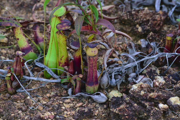 Freshness Outdoors No People Day Naturelover Pitcherplant Nephentes Pitcher Plant Pitcher Plants Beauty In Nature Kantong Semar Nature_collection Nature Plant Green Color Growth Naturetheme Naturelovers Nature Photography Leaf Close-up Themes Insect Survival