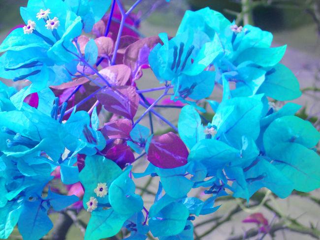 Blue Boganvilla Blue Flowers Boganvilla Boganvilla Flowers Flower Sky Sky Blue And Clouds Sky Colours