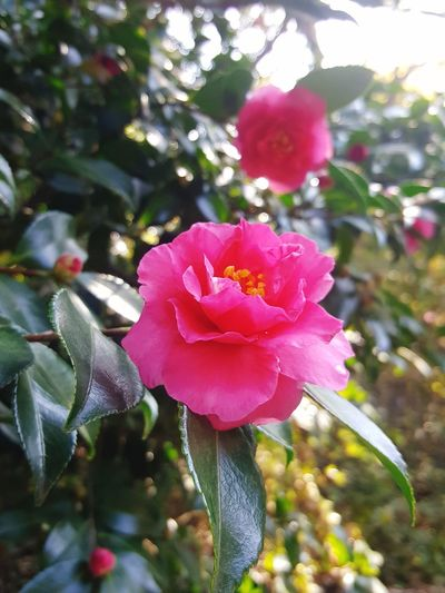 Flower Pink Color Tree No People Nature Petal Day Plant Beauty In Nature Close-up Outdoors Azalea Blossoms Growth Fragility Flower Head Freshness