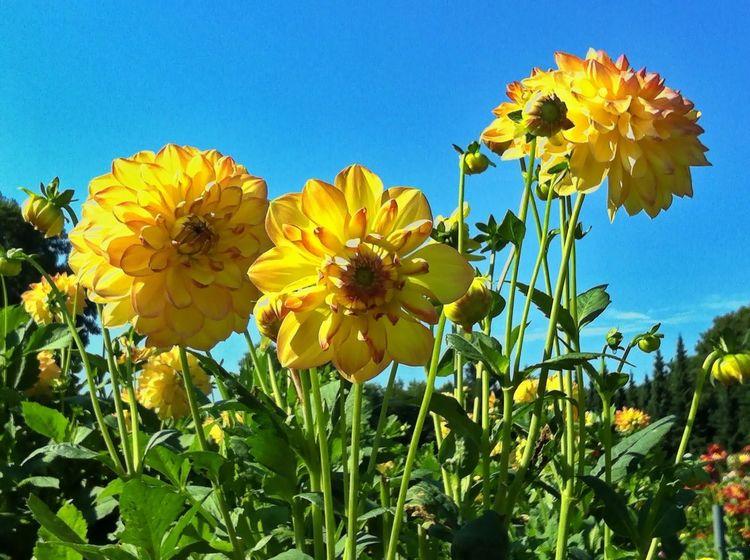 Dahlia Flowers Enjoying The Sun Last Days Of Summer Blue Sky Yellow Flower Green Grass Nature_perfection EyeEm Best Shots Jopesfotos - Nature