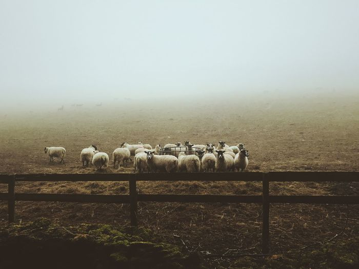 What are ewe looking at? Nature Large Group Of Animals Landscape Livestock Domestic Animals Animal Themes Clear Sky Mammal Tranquility Field Beauty In Nature No People Rural Scene Agriculture Scenics Day Flock Of Sheep Bale  Sheep Outdoors The Great Outdoors - 2017 EyeEm Awards