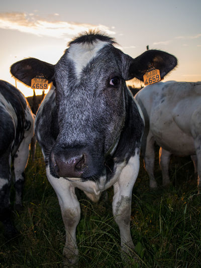 Agriculture Animal Animal Head  Animal Themes Cattle Cow Cows Curiosity Domestic Domestic Animals Field Grass Group Of Animals Herbivorous Land Livestock Looking At Camera Mammal Nature No People Outdoors Pets Portrait Standing Vertebrate