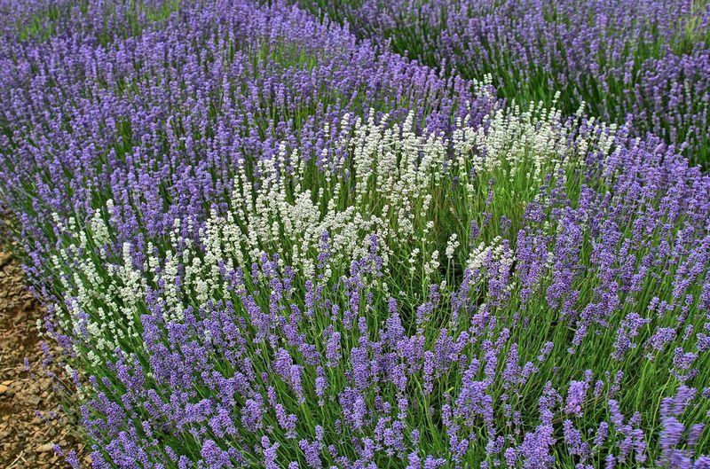 Lavender in