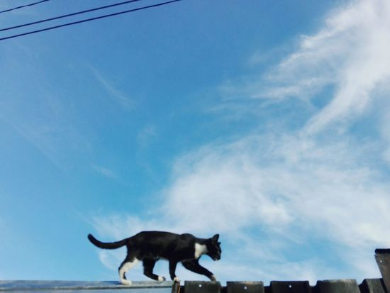 Sky One Animal Pets Kitty Animals Ionitaveronica Huaweiphotography Edited By @wolfzuachis @WOLFZUACHiV Wolfzuachiv Eyeem Market Romania Showcase: 2017 Showcase: February Veronicaionita On Market Feline EyeEmNewHere Blue Sky Cat Outdoors Ionita Cat On A Fence Low Angle View