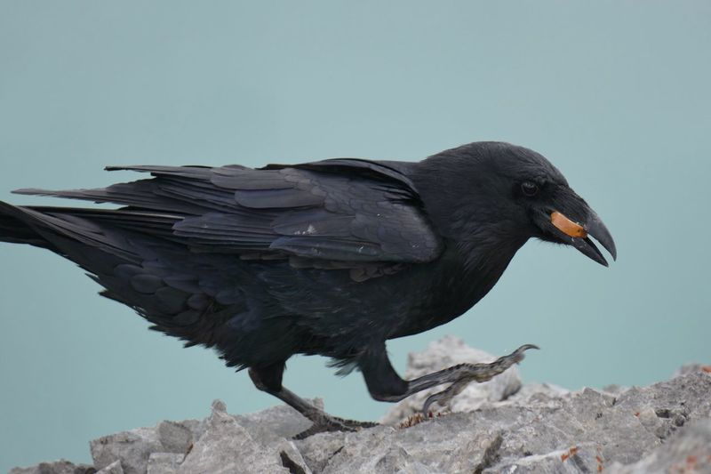 Close-Up Of Raven On Rock