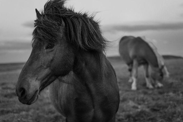 Icelandic Horses Iceland Livestock Nature Pony Animal Animal Themes Black Close-up Focus On Foreground Herbivorous Horse Icelandic Mammal Mane No People Outdoors White Wild