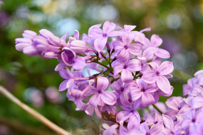 Beauty In Nature Blossom Botany Bunch Of Flowers Close-up Day Flower Flower Head Flowering Plant Focus On Foreground Fragility Freshness Growth Inflorescence Lilac Nature No People Outdoors Petal Pink Color Plant Purple Springtime Vulnerability