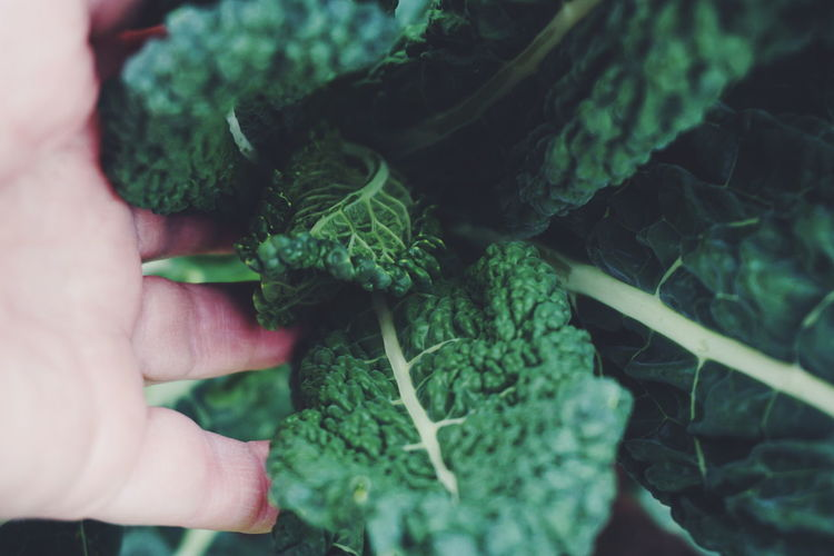 black kale Vegetable Organic Healthy Eating Green Color Freshness Human Body Part Human Hand Raw Food One Person Healthy Lifestyle Indoors  People Food Adult Leaf Close-up Vegetarian Food One Woman Only Day Only Women Curly Kale Black Kale Kale Healthy Healthy Food