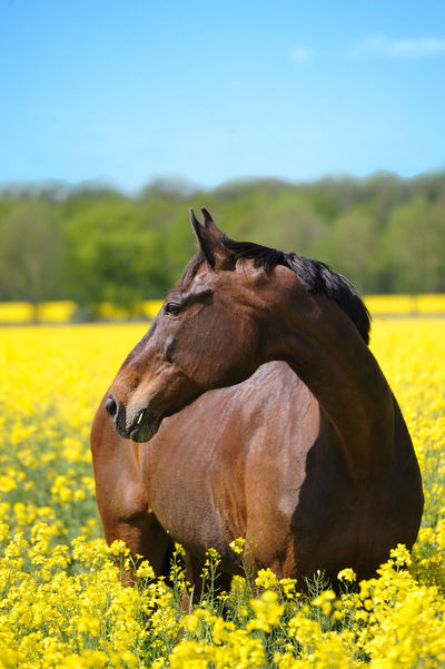 Horse and nature Animal Themes Beauty In Nature Buckskin Close-up Day Domestic Animals Field Flower Focus On Foreground Forrest Grass Hanoverian Horse Landscape Livestock Mammal Mare Meadow Nature No People One Animal Outdoors Pure Breed Sky Yellow