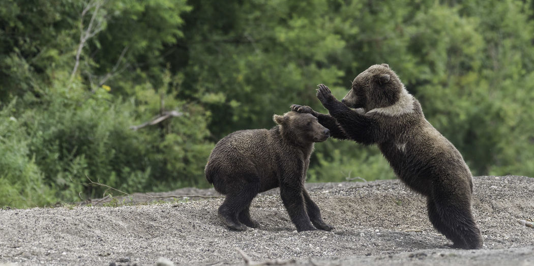 Bears playing on sand outdoors
