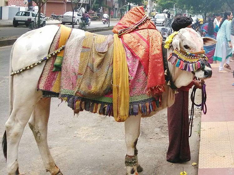 GaneshChaturthi Culture Tadaa Community EyeEm Gallery India Life Bangalore Traditional Colors Cow