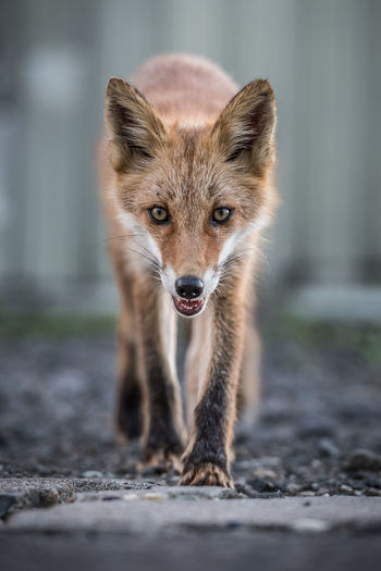...with a slightly less friendly look ASIA Great Outdoors Japan Nature Wildlife & Nature Animal Behavior Animal Themes Animal Wildlife Animals Animals In The Wild Day Fox Looking At Camera Mammal No People One Animal Outdoors Portrait Shiretoko Wildlife Inner Power Go Higher The Great Outdoors - 2018 EyeEm Awards