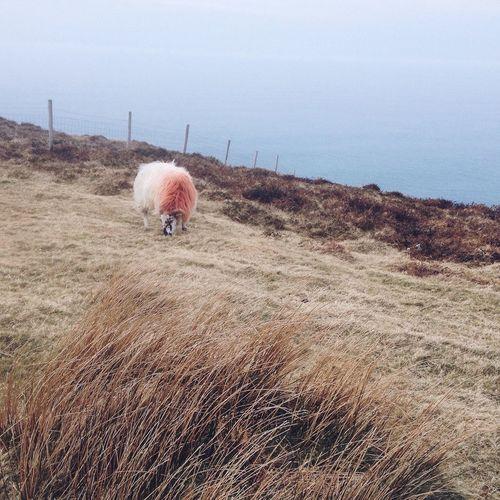 Sheep life // Nature Ireland Vscocam Wildlife