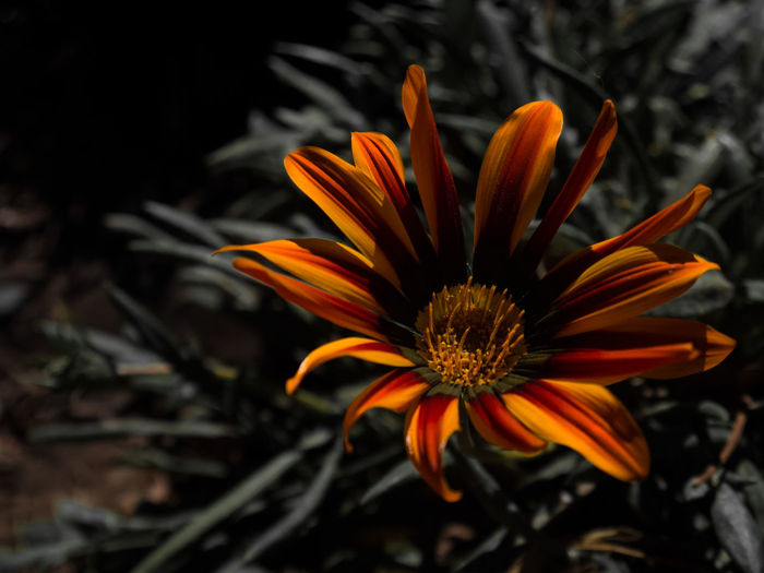 Beauty In Nature Botany Close-up Day Flower Flower Head Flowering Plant Fragility Freshness Gazania Growth Inflorescence Nature No People Orange Color Outdoors Petal Plant Pollen Vulnerability