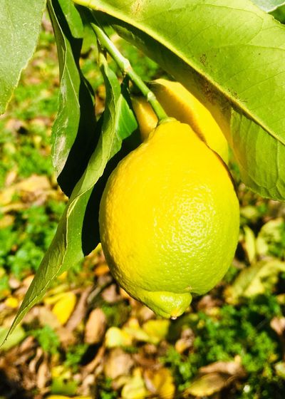 Lemon and green leaves Leaf Lemon Food Fruit Healthy Eating Food And Drink Leaf Freshness Citrus Fruit Lemon Yellow Close-up Nature Plant Tree Green Color Fruit Tree Growth Plant Part