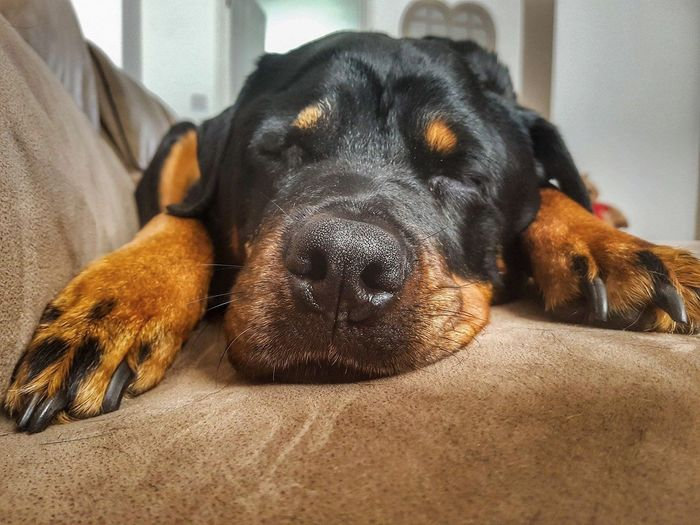 My Angel 💗😇💗💗 Rottweiler Dogs Of EyeEm Black And Tan Bedtime EyeEm Selects Pets Dog Portrait Relaxation Lying Down Close-up Pet Bed At Home Adult Animal Animal Face Loyalty Purebred Dog Canine Snout Pampered Pets Home Whisker Sleeping