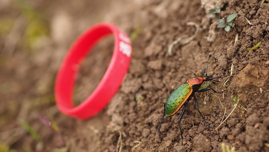 Close-up of bug by red wristband on field