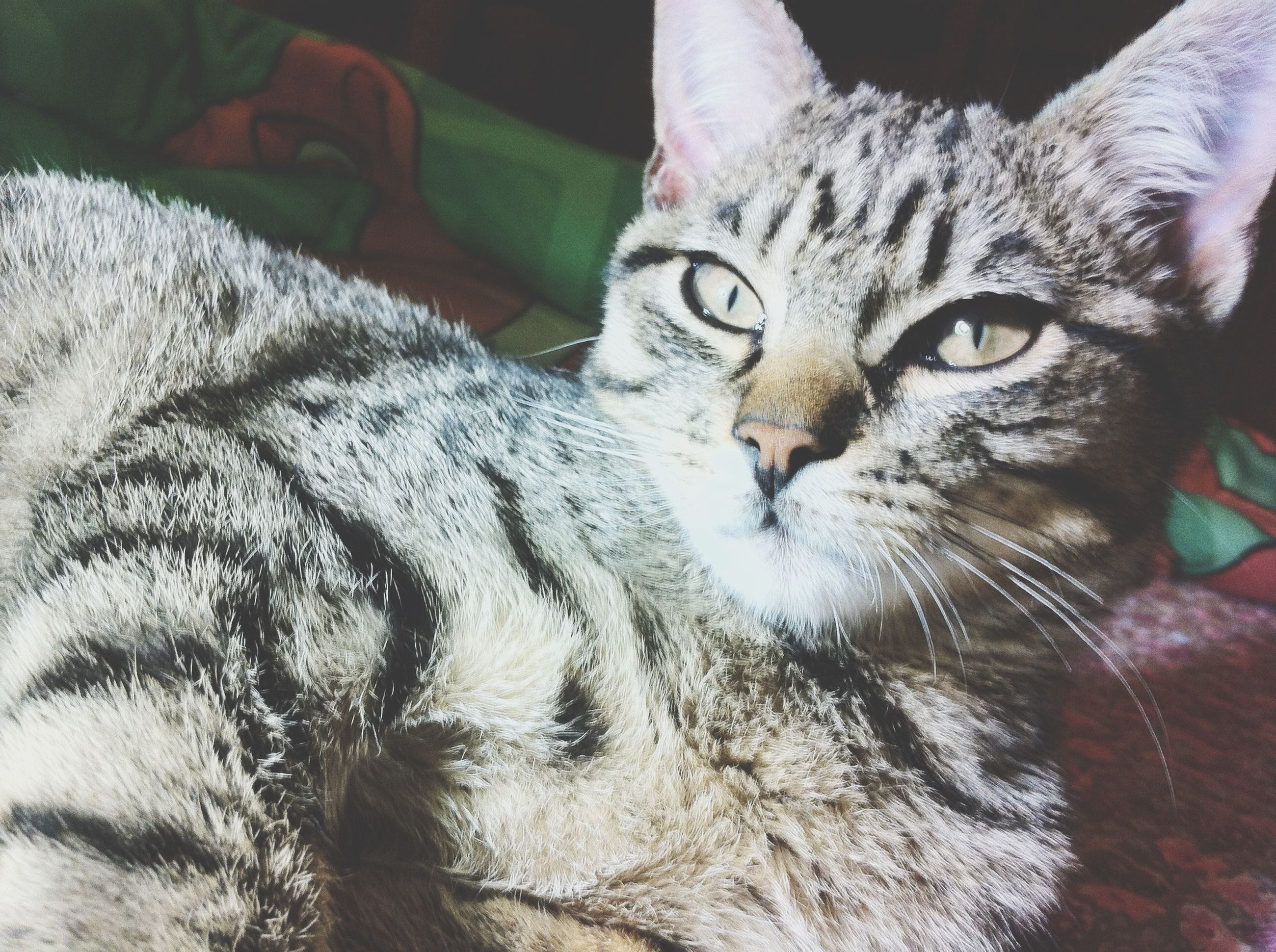domestic cat, cat, pets, domestic animals, animal themes, one animal, feline, indoors, mammal, whisker, relaxation, portrait, looking at camera, lying down, close-up, resting, bed, animal head, home interior, high angle view