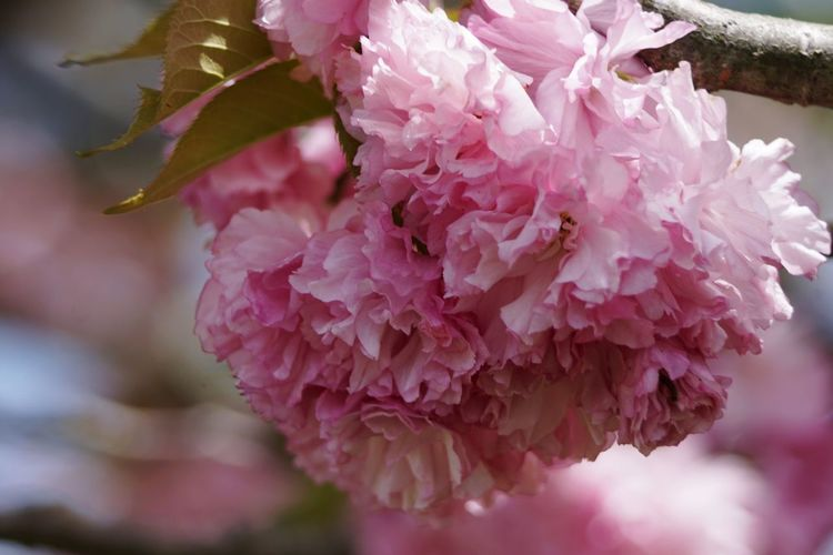 Pink Color Flower Plant Close-up Nature Beauty In Nature Petal Growth Flower Head Outdoors Freshness Connecticut Springtime Blossom Flowering Tree