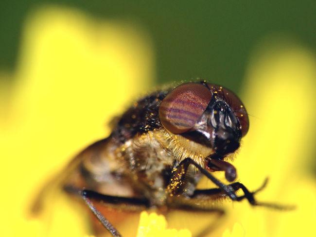 Stomorhina Lunata (male) - Serchio River Animal Themes Animals In The Wild Arthropoda Calliphoridae Close-up Diptera Fly Hexapoda Insect Insecta Nature Rhiniinae Stomorhina Stomorhina Lunata