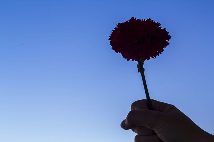 Woman's hand holding a red carnation with raised fist. Revolution concept 1974 25th Of April Carnation Celebration Copy Space Freedom Love Peace Portuguese Revolution 1974 Revolution Revolutionary Celebration Event Concept Flower Freedom Day Human Hand Plant Raised Fist Red Carnation Symbol