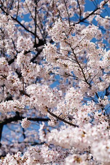 桜🌸 Flowering