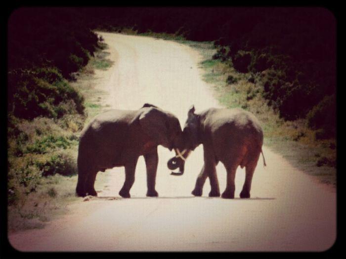beautiful elephants strolling past :) Animals Nature <3