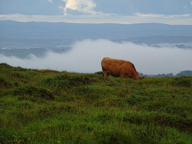 Grass One Animal Nature Animal Wildlife Cloud - Sky No People Outdoors Animals In The Wild Cow Landscape No Filter, No Edit, Just Photography NoEditNoFilter Original Photography Original Photo Mammal Nature Beauty In Nature Dartmoor Mist Dartmoor National Park Devon